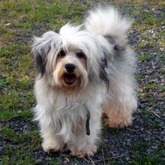 Small, Hypo-Allergenic, Non-shedding, good personality, and ADORABLE! {Havanese}