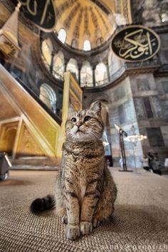 Mascot of the Aya Sophia - Istanbul - Turkey (by sandy_gennrich) Hagia Sophia, I Love Cats, Cute Cats, Animals And Pets, Cute Animals, Animals Images, Funny Animals, Cat Whisperer, F2 Savannah Cat