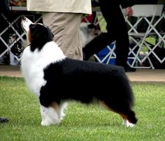 Australian Shepherd Black Tri-Colour ~N~