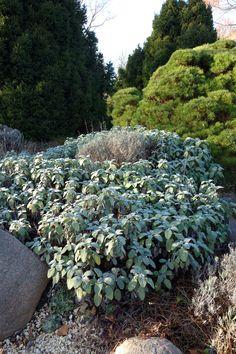 Echter Salbei (Salvia officinalis)