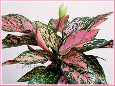 Chinese Evergreen house plant is the best plant for removing toxins from the air in your home. It is durable and is a perfect plant for that low light area.