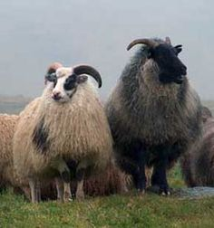 The Icelandic sheep is descended from the Northern European short tail breeds and was brought to Iceland by the Vikings in the middle ages. The vigor, hardiness and variety of uses for these sheep made them a cornerstone of the Viking settlement and later development of Icelandic culture.