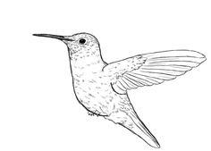 Birds, : Ruby Throated Hummingbird Bird Coloring Page