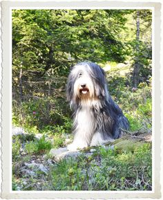 Photo - Bearded Collie - Nina www.labandedesfaineantes.blogspot.it