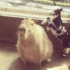 A capybara with a kid jumping on him. Mundo Animal, My Animal, Cute Gif, Funny Cute, Beautiful Creatures, Animals Beautiful, Animals And Pets, Baby Animals, Animal Pictures