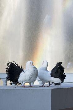 Tailmark Standard Fantail Pigeon
