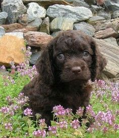 American Water Spaniel breed info,Pictures,Characteristics,Hypoallergenic:No