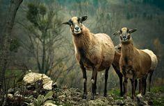 goats (by hipydeus)