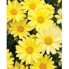 Proven Winners Butterfly Argyranthemum 4.25 in. Grande ($5.99) ❤ liked on Polyvore featuring backgrounds, art, flowers, pictures and yellow