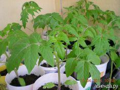 Чтобы помидоры стали крепкими: Группа Практикум садовода и огородника