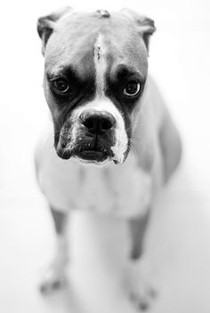 just look at that face... #boxer #dog