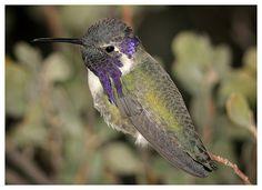 ✯ Hummingbird