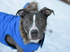 SAFE 04/06/15!  Was TO BE DESTROYED - 03/23/15 Brooklyn Center -P  My name is TRIXY. My Animal ID # is A1024418. I am a female blue and white pit bull. The shelter thinks I am about 1 YEAR.   For more information on adopting from the NYC AC&C, or to  find a rescue to assist, please read the following: http://urgentpetsondeathrow.org/must-read/
