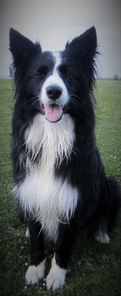 Majestic border collie...so says Asha xxx