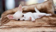 Cute white chi #chihuahua