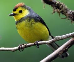 Collared Whitestart (Gary Clark), Costa Rica