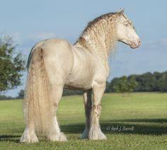 Perlino Stallion Hershley Gypsy Vanner Photo by Mark J Barrett