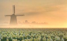 Közeledik a tulipánszezon! - Virágzó szépségek Hollandiában,  #április #FloraHolland #Hollandia #kert #Keukenhof #Leiden #március #piac #színes #tavasz #tulipán #tulipánmező #virág #virágzik, http://www.otthon24.hu/kozeledik-a-tulipanszezon-viragzo-szepsegek-hollandiaban/