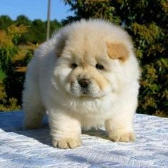 Chow chow puppies are the most loyal dog breeds. It is recommended for you to buy Chow chow puppies for sale as your pet. Chubby Puppies, Fluffy Puppies, Cute Puppies, Cute Dogs, Dogs And Puppies, Doggies, Baby Dogs, Mini Puppies, Chubby Babies