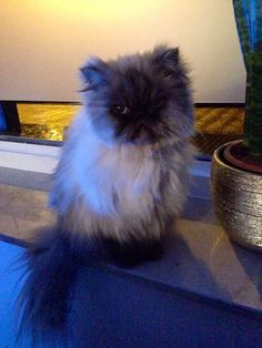 Happy 2014 persian cat (Shiva)