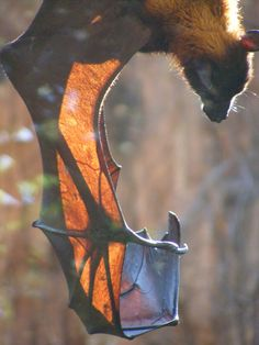 "an amazing picture of a bat's ""hand"" bones!What an amazing picture of a bat's ""hand"" bones! Animals And Pets, Cute Animals, Bat Species, Bat Flying, Baby Bats, Fruit Bat, Cute Bat, Creatures Of The Night, Beautiful Creatures"