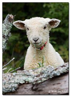 Happy Jack - Southdown Lamb