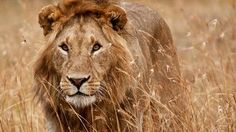 BBC - Earth - Seven reasons to love lions