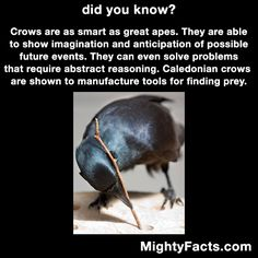 I will own a crow one of these days. I will train it to peck people's eyes out that fuck with me. Animals And Pets, Funny Animals, Cute Animals, Crow Facts, Raven Facts, Wtf Fun Facts, Random Facts, Random Stuff, Crows Ravens