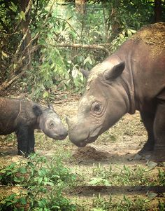 As years of extensive surveys have proven fruitless in finding any sign of Sumatran rhinoceros in the forests of Malaysia, officials made the sad declaration this week that the iconic animal has likely gone extinct in the wild there.