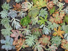 boutures cactus et succulentes (1)