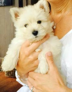 Palmer is 9 weeks long........Cutest westie pup I've seen. They're usually not this cute till they're adults, Claire