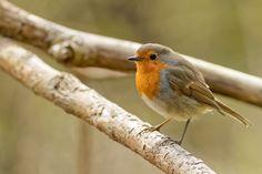 Robin by Carsten Andersen on 500px