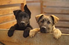 Diego and Don, East German Shepherd puppies
