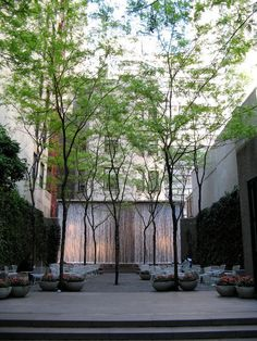 Honey locust trees is in Paley Park in New York City. The trees soften all of the straight modern lines of this beautiful pocket park. Their compound leaves provide filtered light to the park users below. Because of their forms and their tolerance of stressful urban conditions, they are one of the most popular street trees.