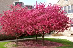 'Prairifire' crabapple has spectacular pinkish-red flowers, long lasting blooms in Spring, and excellent disease resistance.