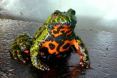 The Oriental fire-bellied toad (Bombina orientalis) is a small cm, semiaquatic frog species found in Korea, northeastern China, and adjacent parts of Russia. An introduced population exists near. Geckos, Reptiles And Amphibians, Mammals, Turtle Reptile, Frog Species, Amazing Frog, Amazing Nature, Cute Frogs, Frog And Toad