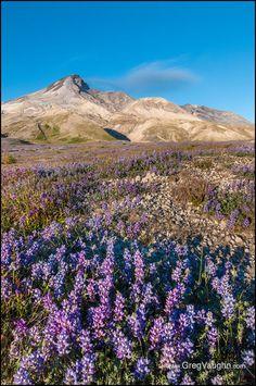 Lupine, Mount Saint Helens   Flickr - Photo Sharing!