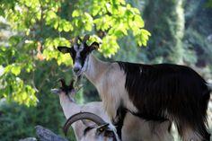Des chèvres corses Corsica, Sardinia, Goats, France, Vacation, Nature, Landscapes, Animaux, Vacations