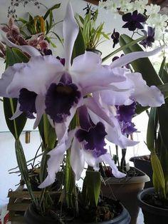 """Beautiful lavender #orchids. 1450336_735209513289989_5807822393139403467_n.jpg (480×640)    http://dennisharper.lnf.com/"""