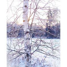 Winter. Finnish birch tree.