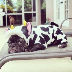'Just got my Winter Jammie's', French Bulldog Puppy in a Cow Onesie.