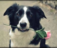 Hilary and pink #border collie #trick #flower