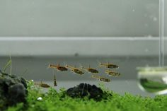 Planted Tank Gallery - chilies