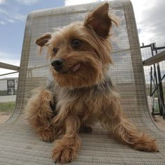 SENIOR SUNDAY! We're rallying with our friends @susiesseniordogs because Jersey needs a home!  Can you believe it? This is Jersey's 3rd time being featured for SENIOR SUNDAY, yet she still remains at the shelter. Jersey is a tiny 9 year old Yorkie-angel and she has been looking for a home since January. She sleeps all alone at the shelter each night! Prior to be rescued by @NationalMillDogRescue, Jersey was used for breeding for her entire life. Thankfully, she's in good hands at her…