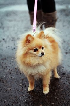 Pomeranian Puppy In Car Discover Inquisitive Pomeranian Puppies Health Animals And Pets, Baby Animals, Cute Animals, Spitz Pomeranian, Pomeranians, Cute Puppies, Dogs And Puppies, Doggies, Jiff Pom