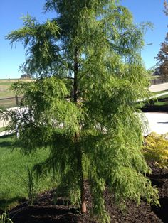 Not sure what kind of tree, maybe a hemlock?