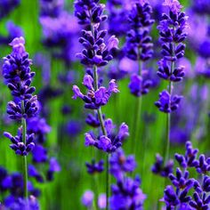 Choose the right variety of lavender for your zone