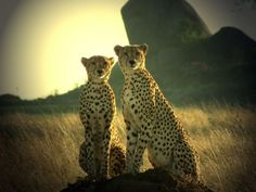 Cheetahs Posing by ward graham - Pixdaus