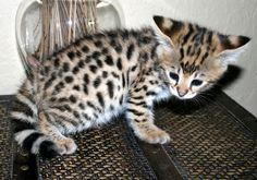 I want an F3 to F5 Savannah kitten.  Meow!