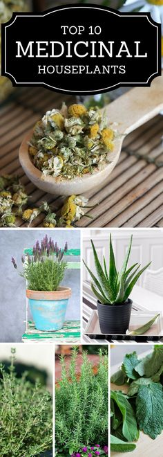Aloe is a common plant in Arizona and can withstand our hot, dry summers. But even the other herbs in this post could be grown inside or in a cooler climate and harvested and stored in winter months.